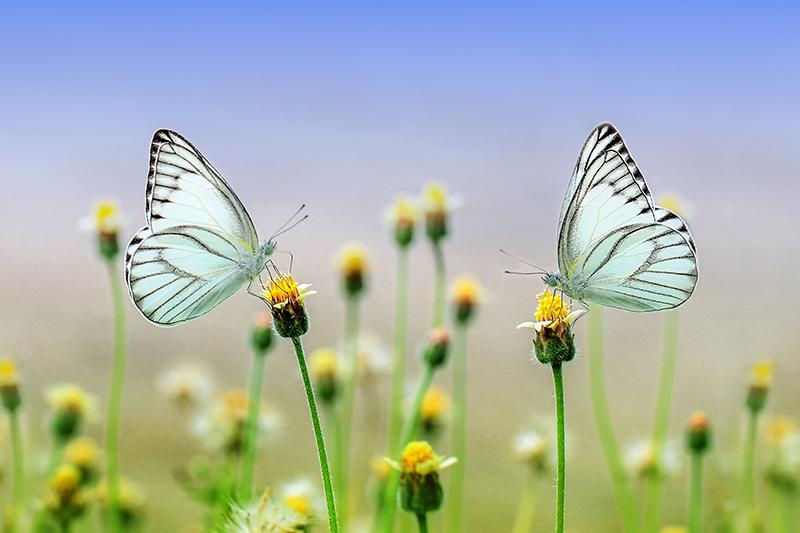 butterfly-1127666_1