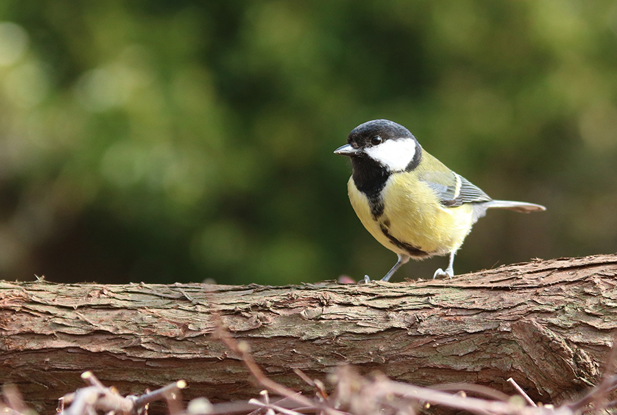 great-tit-1265569_2