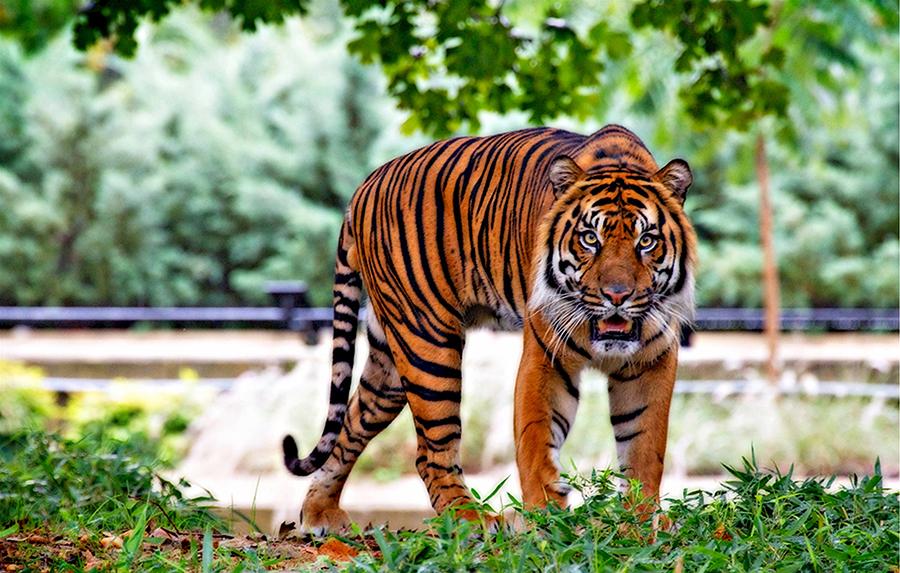 sumatran-tiger-518771_2